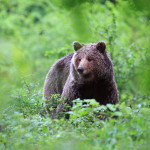 Bear, Photo: www.slovenia.info