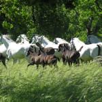 Lipica Stud Farm, Karst